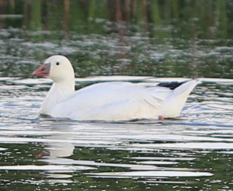 polyarniy-goose